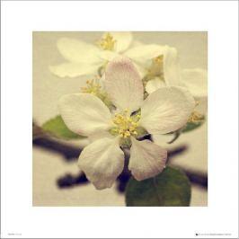 Apple Blossom Trio - plakat premium