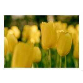 Żółte tulipany - plakat
