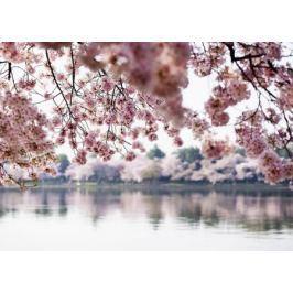 Kwiaty wiśni - fototapeta