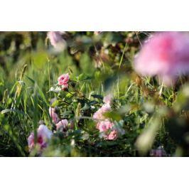 Pudrowe Róże - plakat premium