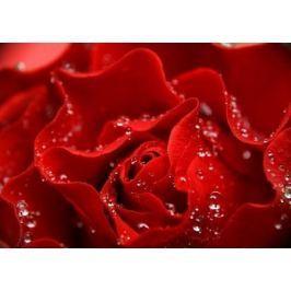 Krople w płatkach róży - fototapeta
