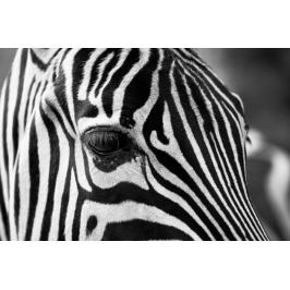Czarno - białe paski - zebra - plakat