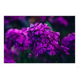 Fioletowe kwiaty - plakat