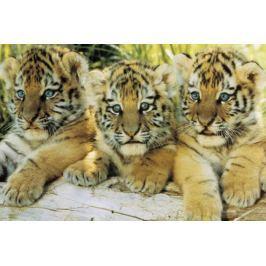 Młode Tygrysy - plakat Fototapety