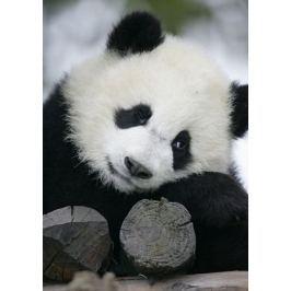 Wielka Panda - fototapeta Fototapety