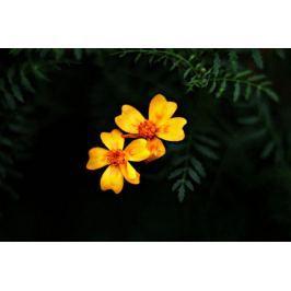 Pomarańczowe Astry - plakat premium Fototapety