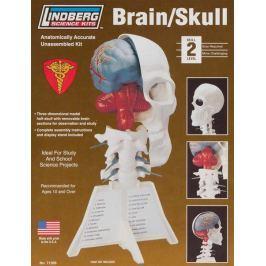 Model plastikowy Lindberg - Mózg / czaszka ludzka