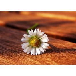 Stokrotka. Kwiat - fototapeta