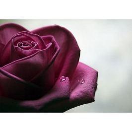 Smutna Róża - fototapeta