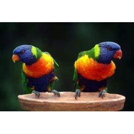 Obraz dwie niezwykłe kolorowe papugi FP 2947 P