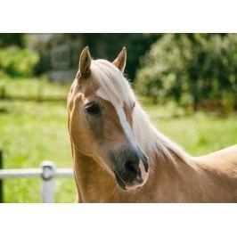 obraz koń P43
